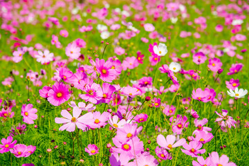 pink cosmos flower blooming in the field, vintage tone off asia Thailand.