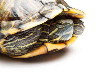side view pet turtle red-eared slider or Trachemys scripta elegans on white close up