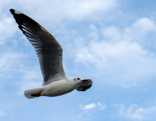 Single seagull flying in a sky as a background at Bangpoo.