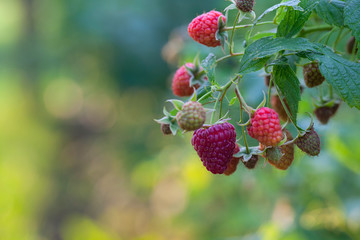 raspberries growing in garden
