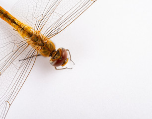 top view golden dragonfly close up