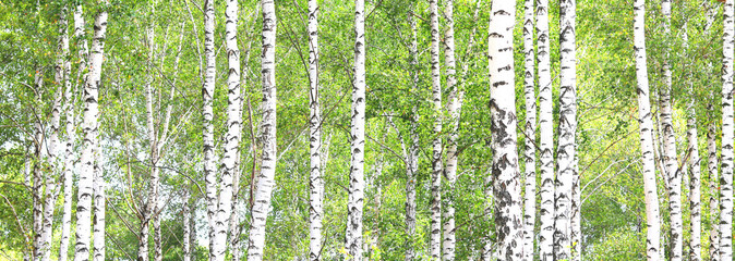 Stores à enrouleur Bosquet de bouleaux Beautiful birch trees with white birch bark in birch grove with green birch leaves