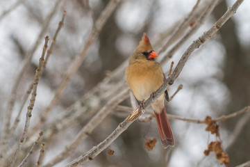 green cardinal on tree branch