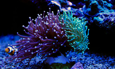 Deurstickers Onder water Euphyllia torch colorful LPS coral in Reef aquarium