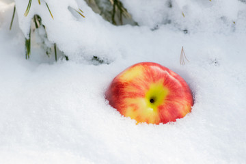 Winter holiday concept: ripe organic jonagold apple in snow and frozen snow covered pine tree twig in forest park preserve.