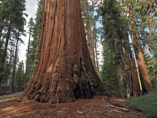 Giant Sequoia (Sequoiadendron giganteum) at General Grant Grove, Kings Canyon National Park, California, USA