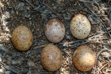 Falco tinnunculus. The nest of the Common Kestrel in nature.