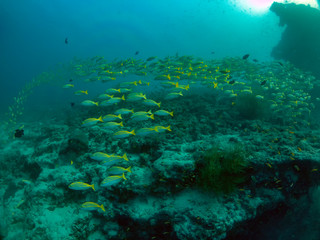 Photo sur Aluminium Recifs coralliens A school of Bluestripe Snapper (Lutjanus kasmira) in the Maldives