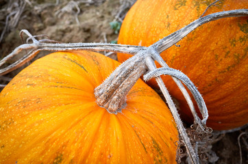 Close up picture of a pumpkin stem.