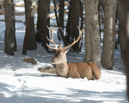 Noble deer in the winter forest