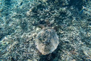 Sechellen Karett Schildkröte