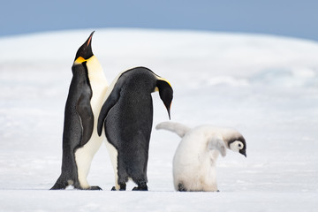 Two Emperor Penguins with chick