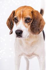 Begle portrait in the snow flurry