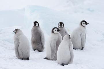 Fond de hotte en verre imprimé Pingouin Emperor Penguin chiks