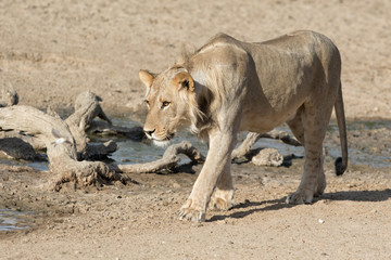 Young male lion walking at a small waterhole - Kgalagadi Transfrontier Park - South Africa