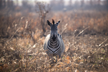 Zebra standing amidst plants on field at Mikumi National Park during sunny day
