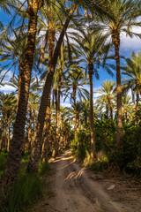 The biggest palm grove in Tunisia, Tozeur palmerie