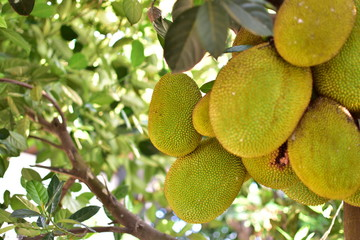 jackfruit on the tree