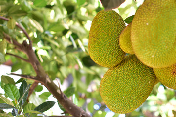 Jackfruit tree with jackfruit fruits on it