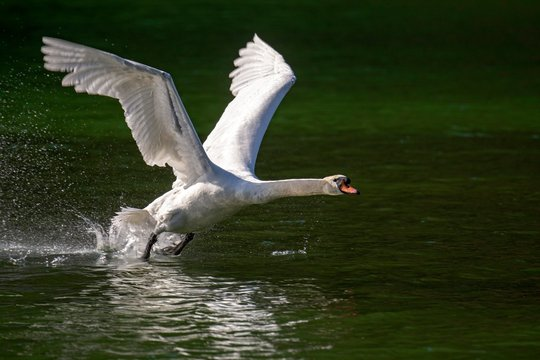 Mute swan (Cygnus olor) starts from the water, Tyrol, Austria, Europe