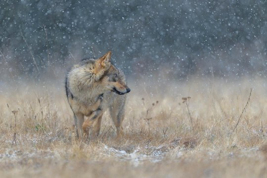 Gray wolf (Canis lupus), in a meadow in heavy snowfall, National Park Little Fatra, Slovakia, Europe