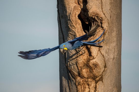 Hyacinth macaw (Anodorhynchus hyacinthinus) leaves breeding cave, Pantanal, Mato Grosso do Sul, Brazil, South America
