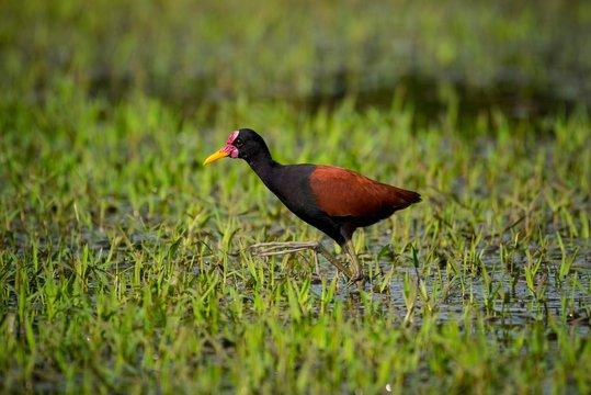 Wattled jacana (Jacana jacana) wading through swampy terrain, Pantanal, Mato Grosso do Sul, Brazil, South America