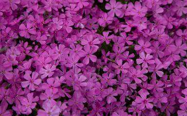 Floral Texture of Pink Flowers