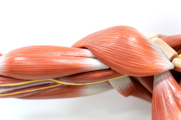 Muscles of shoulder for physiology education.