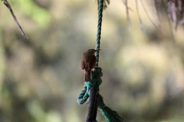 colibrì marrone su una corda, ecuador