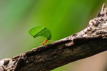 red ant carrying leaf