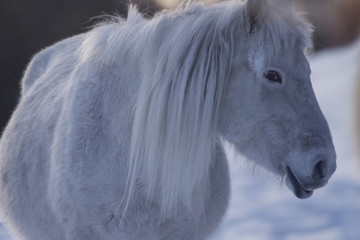 Yakut horses in the winter in the snow. The breed of Yakut horse