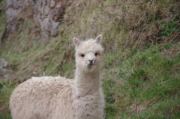 Cute llama eating grass and looking crazy