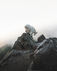 Goat on rock in mountains