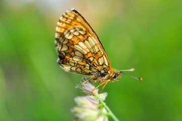 Melitaea arduinna, fritillary butterfly on meadow. Colorful butterfly in nature