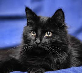 Black cat on a blue background