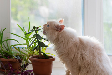 The furry cat is sitting on a white windowsill in indoor. The male persian kitten is eating a green houseplant. It is the concept of improper maintenance and feeding of a pet. Wall mural