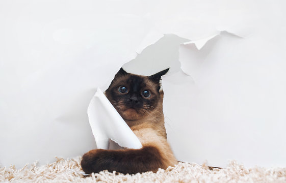 The amusing Siamese cat looks up frightened and realizes that she was behaving in a bad behavior. The concept of guilt for their deeds.