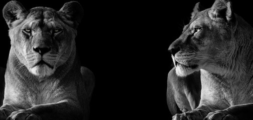 Black and White two lioness