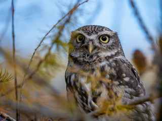 Little owl (Athene noctua) sitting on tree. Blue sky in background. Little owl portrait. Owl sitting on branch. Owl on tree.