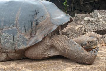 Giant Galapagos Tortoise, Galapagos Islands, Ecuador, South America