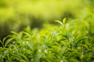 leaf green tea in the farm in the morning