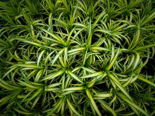Screw pine Growing on Pots
