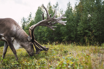 Finland, Lapland, reindeer grazing in rural landscape
