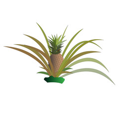 Pineapple bush with fruits. Isolated vector illustration.