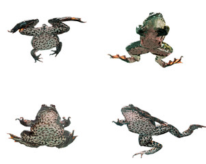 Frog in different angles on a white background.