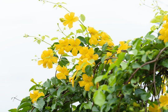 Beautiful yellow flowers with green leaves against summer blue sky background,Cat's Claw, Catclaw Vine, Cat's Claw Creeper plants