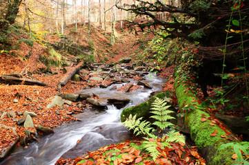 Fern near a creek in a beech forest.