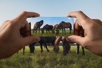 Photographing on a mobile phone. Grazing horses in the meadow. Point of view.
