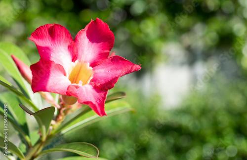 Beautiful Pink Azalea Flower In Garden With Green Nature Blurred
